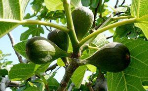 Инжир, маслинное дерево