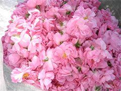 В турецкой Испарте начался сбор лепестков роз