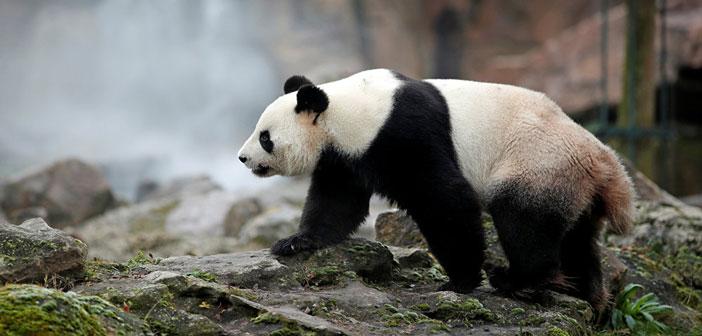 Удивительные творения Всевышнего: панда